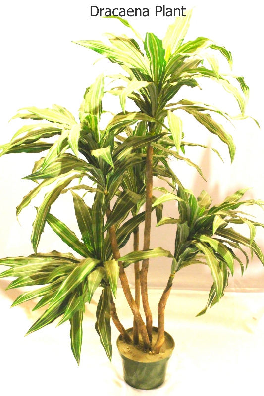 Dracaena plant furniture rental